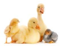 Ganso y polluelo jovenes Imagen de archivo