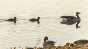 Ganso y polluelos que nadan en agua fotografía de archivo