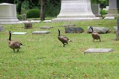 Gansos 2 del cementerio Foto de archivo