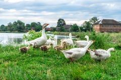Gansos adultos que caminan con los pequeños gansos cerca de la charca, paisaje rural, verano Imagen de archivo libre de regalías