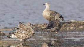 gansos Azul-voados na lagoa foto de stock royalty free