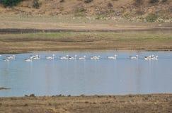 gansos Barra-dirigidos que nadam na água do lago fotos de stock