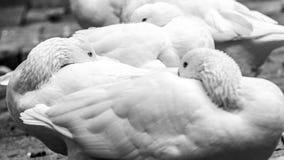 Gansos blancos Imagen de archivo libre de regalías