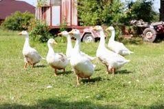 Gansos blancos, aves de corral Foto de archivo