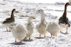Gansos blancos de Sebastpol y gansos de Brown en nieve Imagenes de archivo