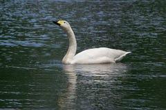 Gansos blancos en el lago y Iris Gardens swan Foto de archivo