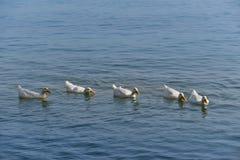 Gansos blancos en el mar Imagen de archivo libre de regalías
