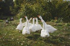 Gansos blancos en el pueblo Foto de archivo