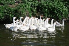 Gansos blancos en el río Fotos de archivo libres de regalías