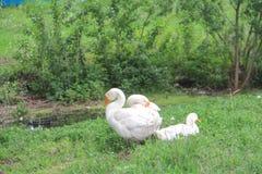 Gansos blancos en hierba verde Imagen de archivo