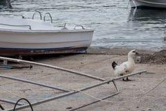 Gansos blancos en la costa cerca del agua Imágenes de archivo libres de regalías