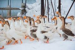 Gansos blancos en la nieve Foto de archivo