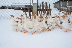 Gansos blancos en la nieve Fotografía de archivo