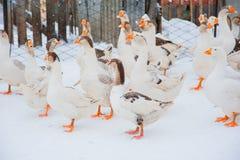 Gansos blancos en la nieve Foto de archivo libre de regalías