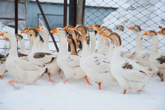 Gansos blancos en la nieve Imagenes de archivo