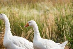 Gansos blancos en una granja Imagen de archivo libre de regalías