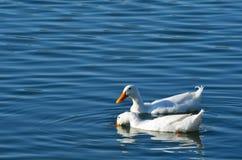 Gansos blancos que nadan en la charca Foto de archivo