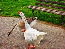 Gansos blancos y marrones, Sandro Pertini Park, Toscana, Italia imagen de archivo libre de regalías