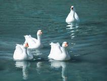 Gansos brancos Fotografia de Stock Royalty Free