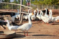 Gansos brancos Foto de Stock