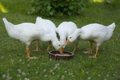 Gansos brancos Foto de Stock Royalty Free