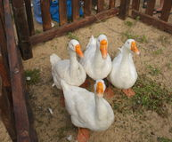 Gansos brancos com bicos amarelos em uma cerca de madeira Foto de Stock