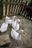Gansos brancos com bicos amarelos em uma cerca de madeira Fotos de Stock Royalty Free
