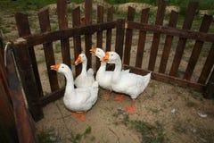 Gansos brancos com bicos amarelos em uma cerca de madeira Foto de Stock Royalty Free