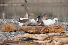 Gansos brancos e cinzentos na boca do rio Entella - Chiavari - Itália Fotos de Stock
