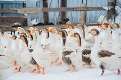 Gansos brancos na neve Foto de Stock