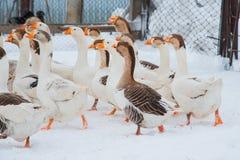 Gansos brancos na neve Fotografia de Stock