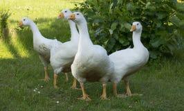 Gansos brancos no jardim Foto de Stock Royalty Free