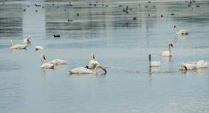Gansos brancos no lago de sal em Pomorie, Bulgária Fotografia de Stock Royalty Free