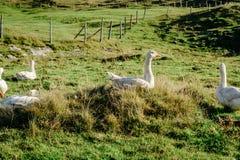 Gansos brancos no prado Fotografia de Stock