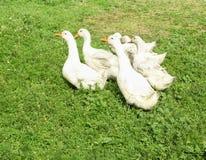 Gansos brancos que pastam na exploração agrícola Foto de Stock Royalty Free