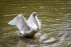 Gansos brancos que voam em lagoas sujas Fotografia de Stock
