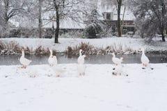 Gansos brancos sob a neve Fotos de Stock