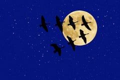 Gansos canadenses abaixo da Lua cheia e das estrelas Imagens de Stock