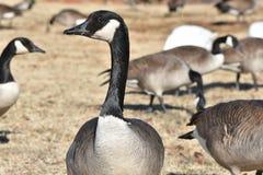 Gansos canadenses ao lado de uma lagoa no inverno foto de stock royalty free