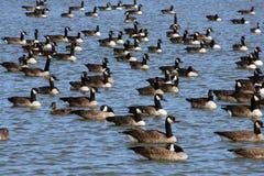 Gansos canadenses da migração Foto de Stock Royalty Free