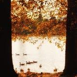 Gansos canadenses do outono em um lago Imagens de Stock