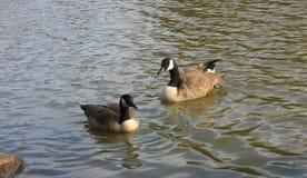 Gansos canadenses dos pássaros nos lagos em América Fotografia de Stock