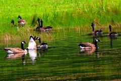 Gansos canadenses em uma lagoa fotos de stock