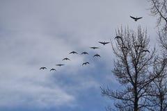 Gansos canadenses múltiplos que voam na formação Imagem de Stock Royalty Free