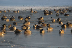Gansos canadenses na lagoa congelada Fotos de Stock