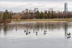 Gansos canadenses na migração Foto de Stock Royalty Free