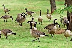 Gansos canadenses no lago Hefner foto de stock