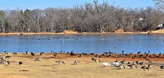 Gansos canadenses que alimentam no parque ao lado de uma lagoa no inverno imagem de stock royalty free