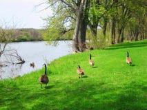 Gansos canadenses que andam em um parque pelo bando da água do rio Imagens de Stock Royalty Free