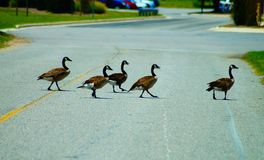 Gansos canadenses que cruzam uma rua imagem de stock